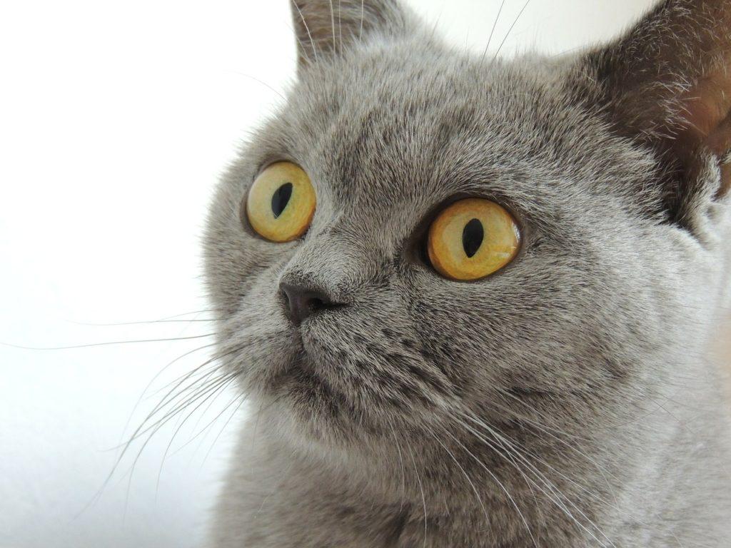 Стоит ли заводить кошку британской породы