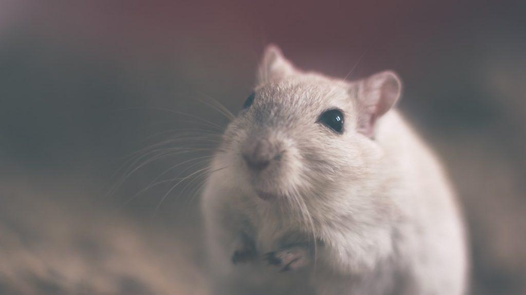 Крыса в качестве домашнего животного