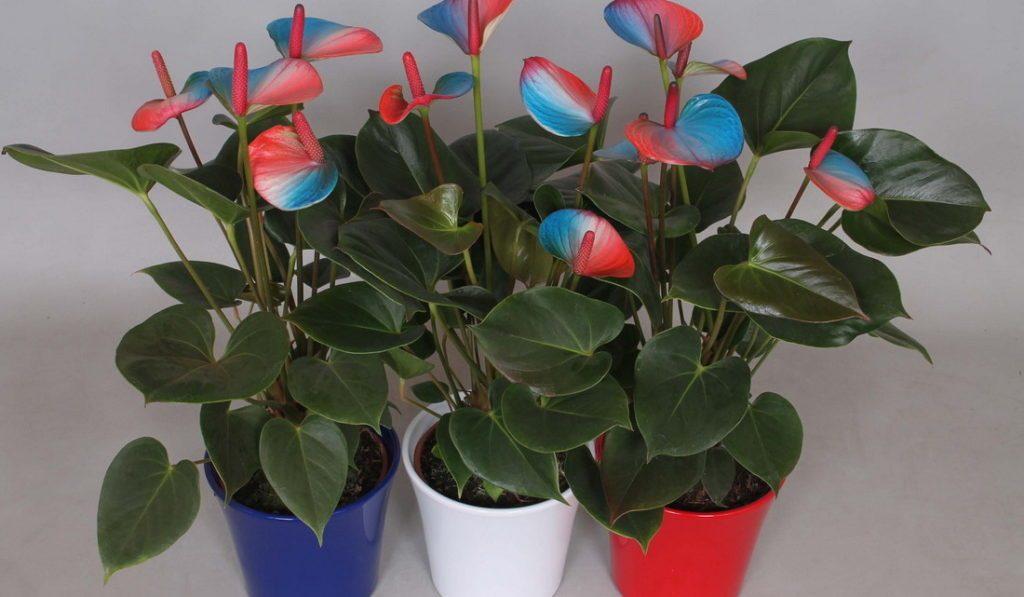 Цветок антуриум фото