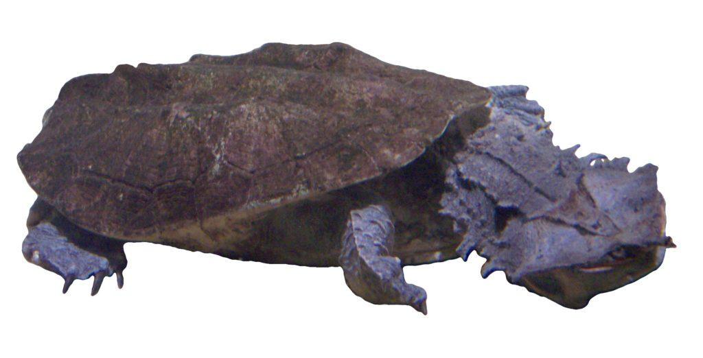 самые страшные животные в мире: Матамата или Бахромчатая черепаха