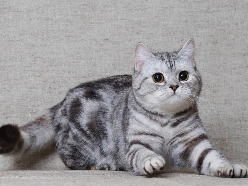 Для детей ТОП 3 кошек для дома Шотландские кошки