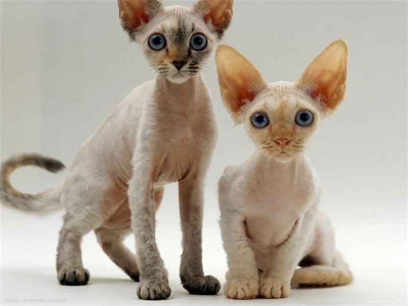 Для детей ТОП 3 кошек для дома Девон-рексы
