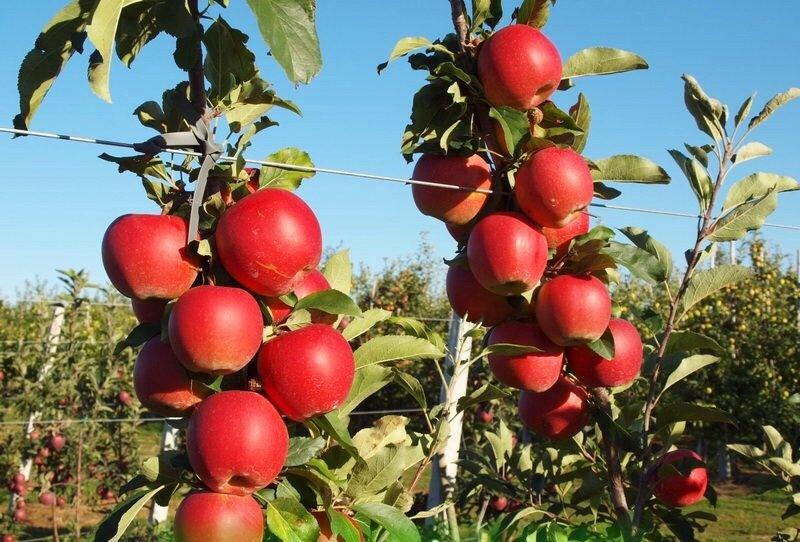 сорт яблони Чемпион с фото