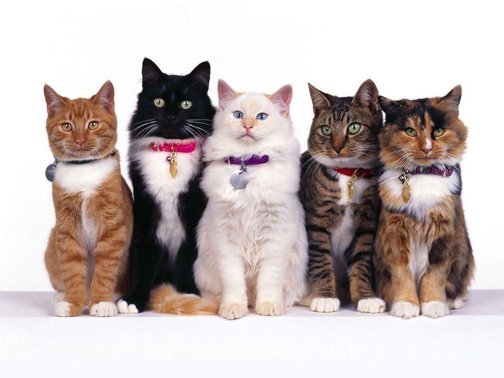 Самые ласковые породы кошек рейтинг ТОП 10