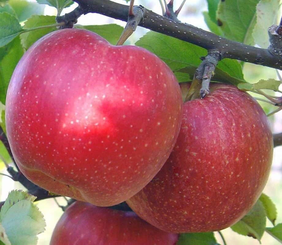 Описание яблони чемпион