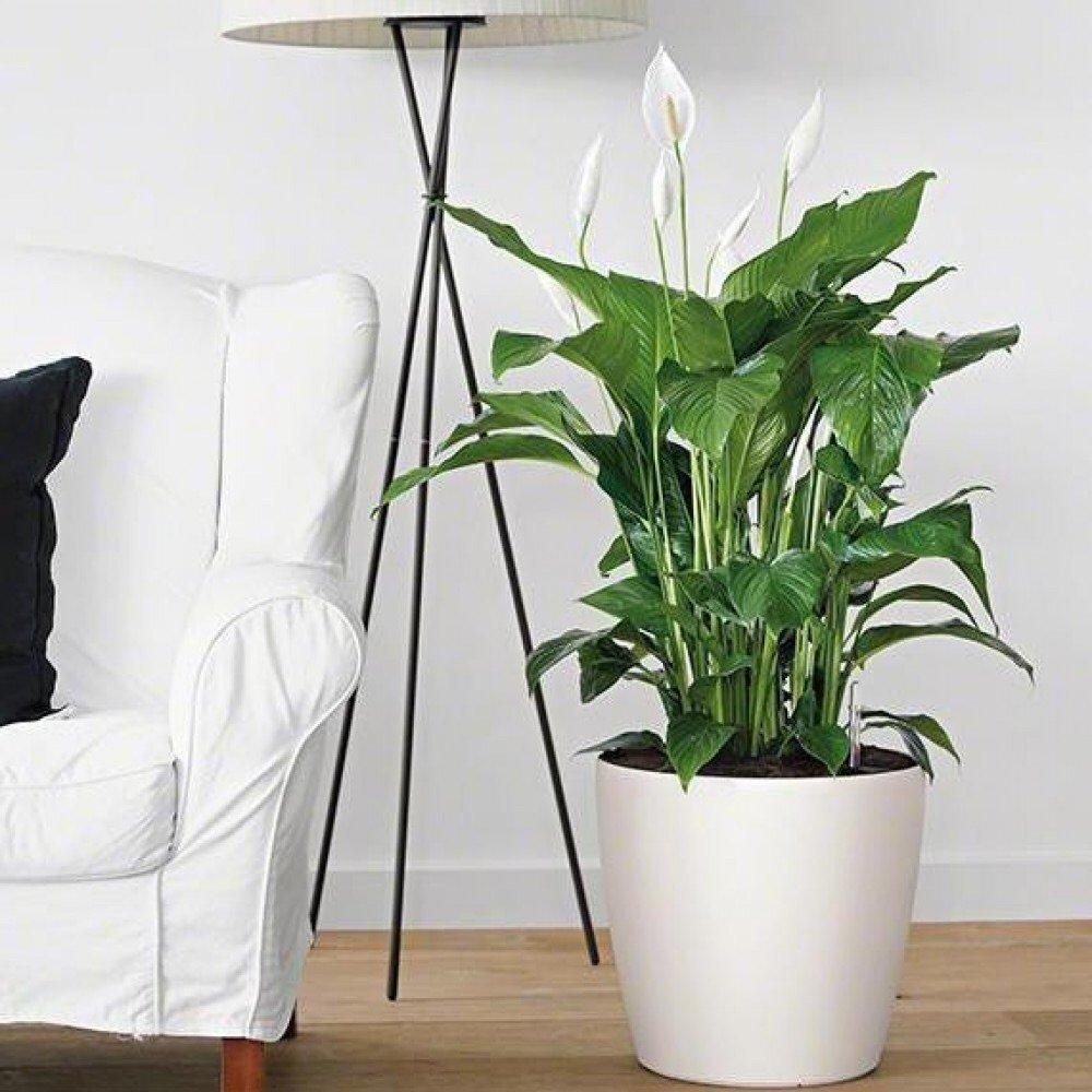 Спатифиллум фото комнатных цветов, как выглядит