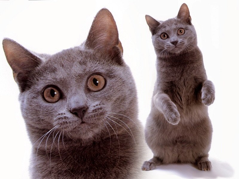 Рейтинг ласковых кошек ТОП 10 Русские голубые кошки