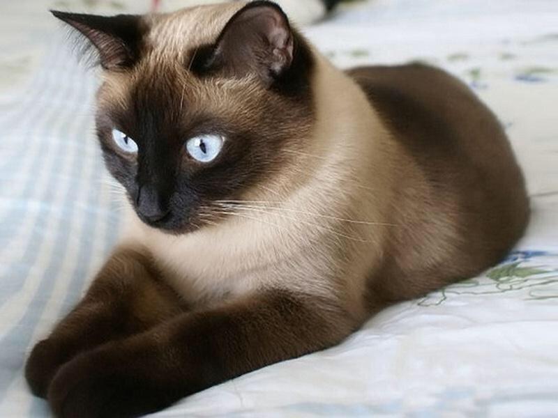 Рейтинг ласковых кошек ТОП 10 сиамские кошки