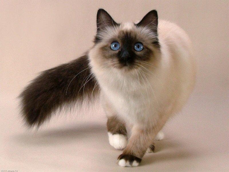 Рейтинг ласковых кошек ТОП 10 Священные бирманские кошки