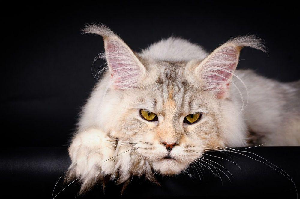 Рейтинг ласковых кошек ТОП 10 Мэйн-куны
