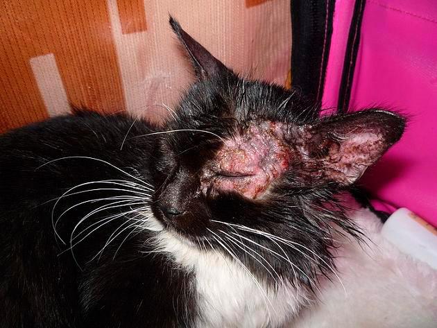 запущенная стадия заболевания лишаем у кошек