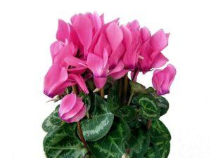 Цветок цикламен уход в домашних условиях с фото