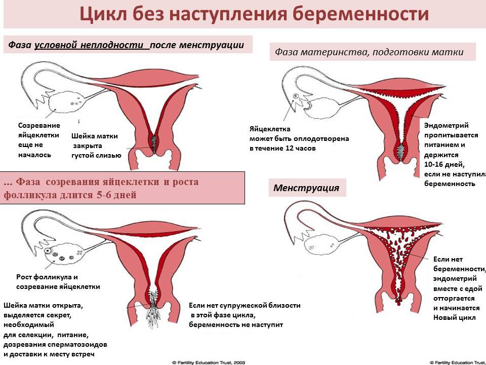 Что представляет собой менструальный цикл