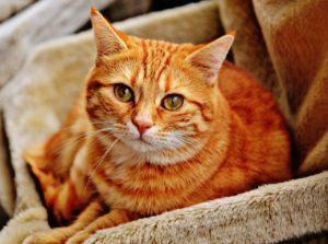 Надо ли кастрировать домашнего кота, плюсы и минусы