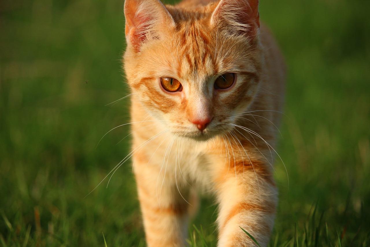 надо ли кастрировать домашнего кота