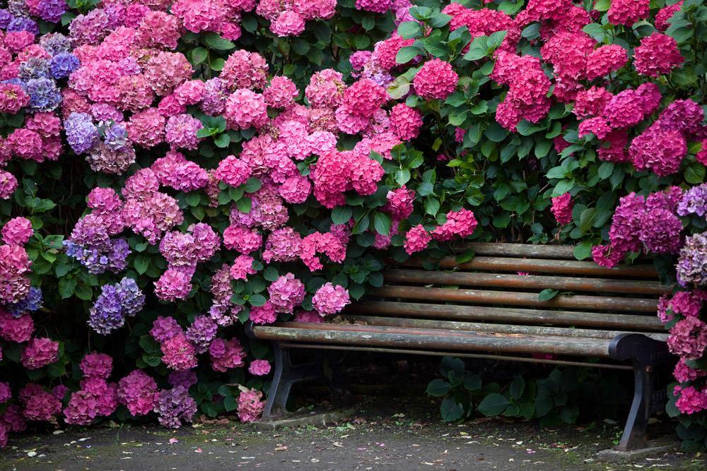 Гортензия садовая: посадка и уход в открытом грунте, размножение