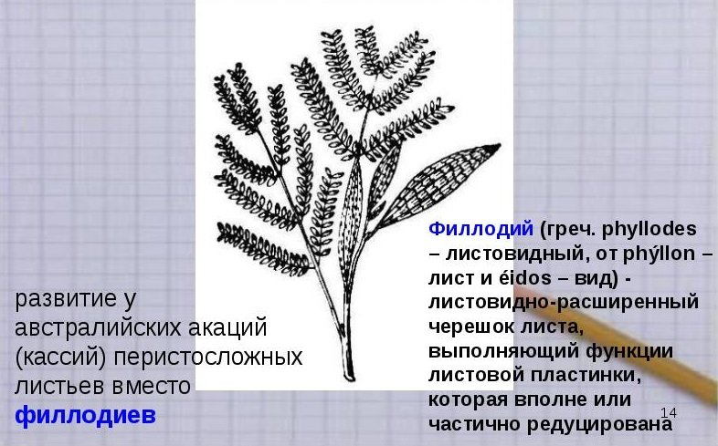 пример атавизма у растений
