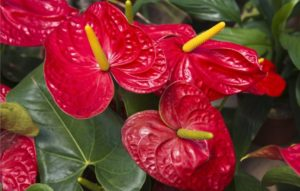 Цветок антуриум уход в домашних условиях с фото