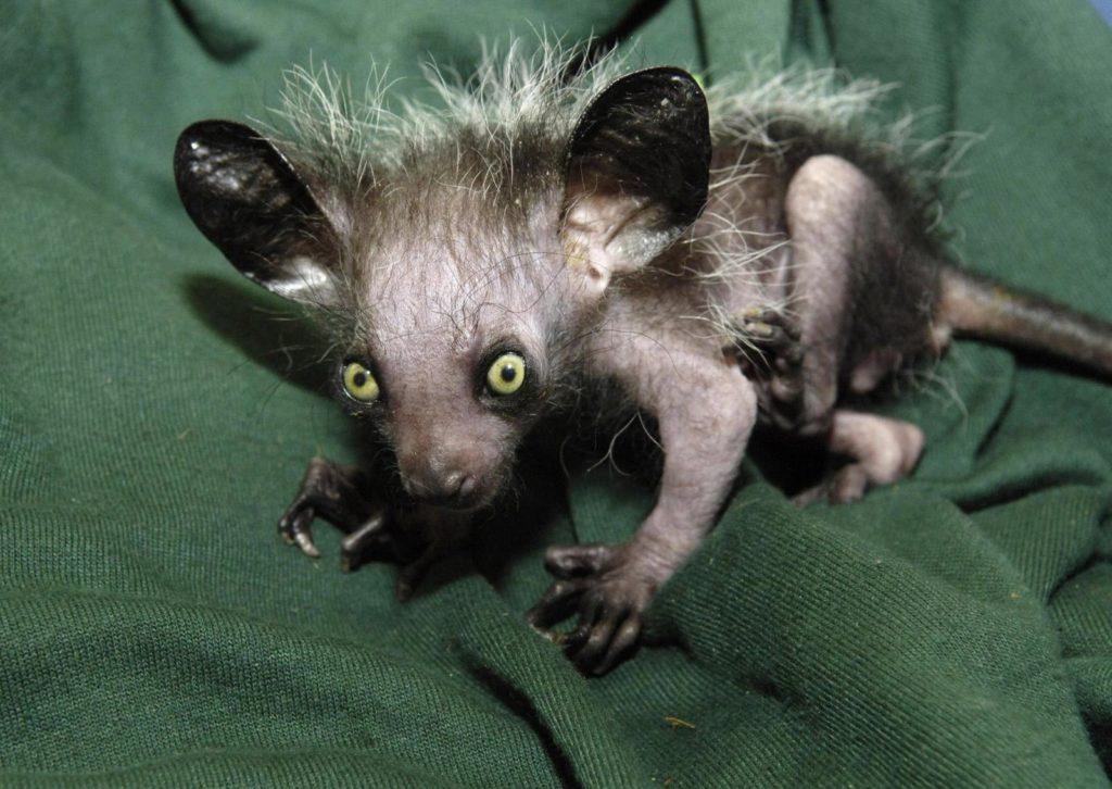 самые страшные животные в мире: айе-айе или мадагаскарская руконожка