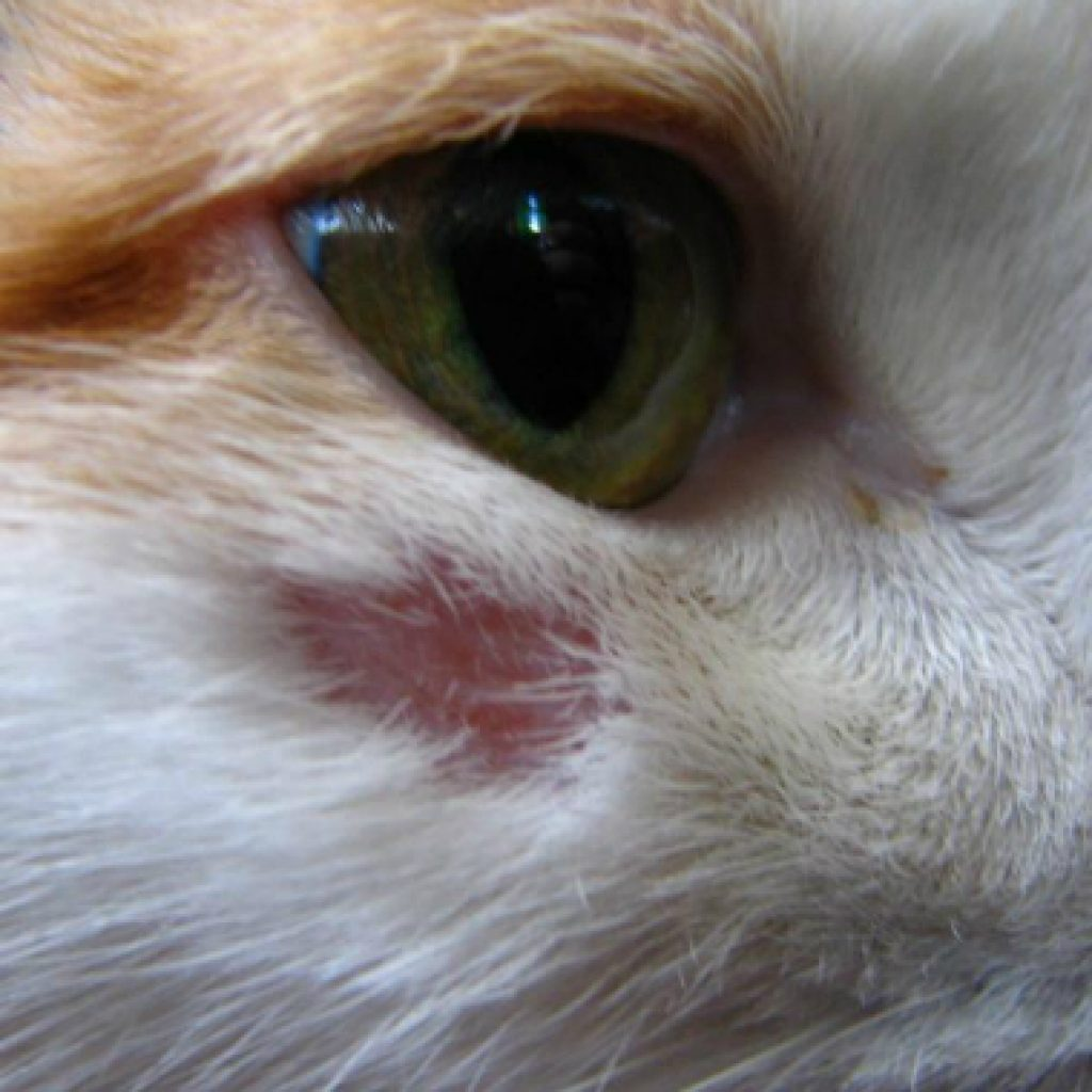 Лишай у кошки: фото с пояснениями