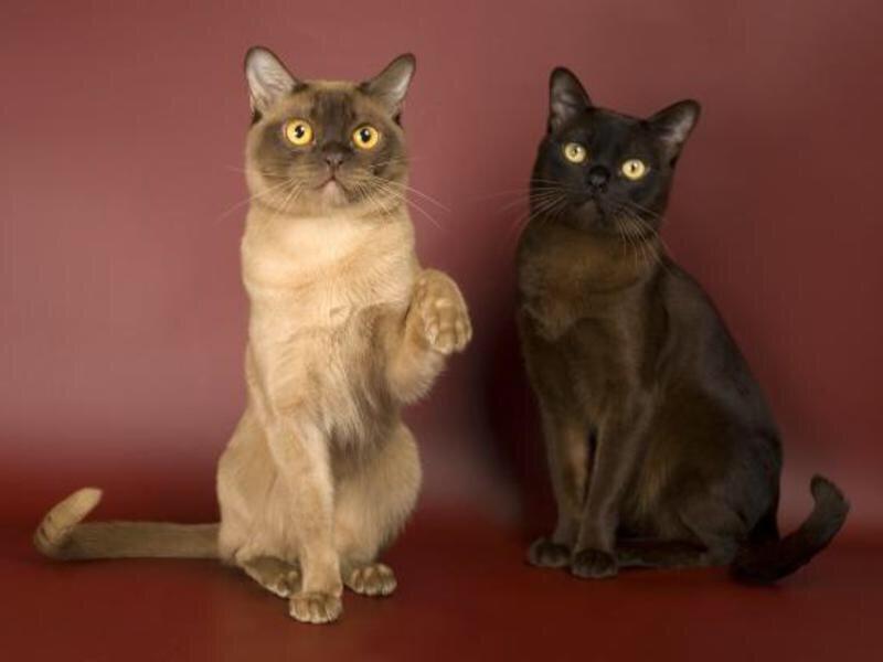 Рейтинг ласковых кошек ТОП 10 Бурманские кошки
