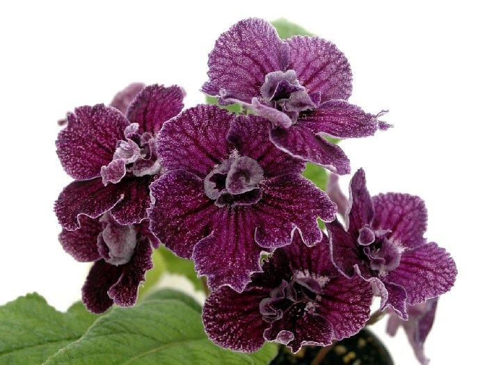 Комнатные растения по фен шуй для счастья и благополучия: стрептокарпус