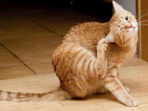 Чем лечить лишай у кошки в домашних условиях