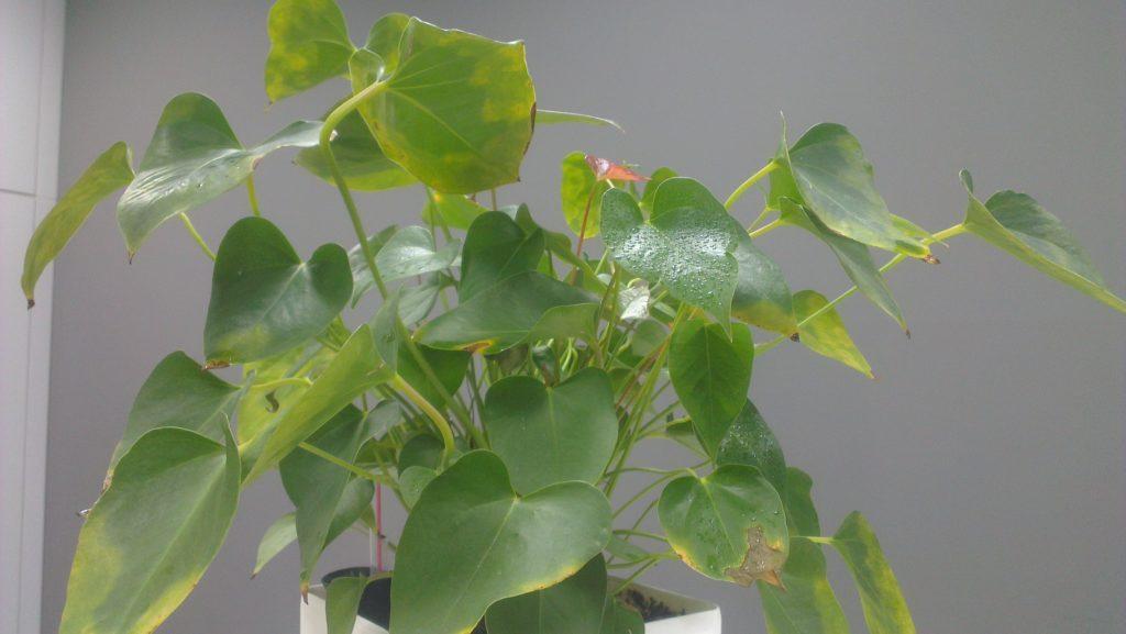 Антуриум болезни листьев фото как лечить: желтеют и сохнут