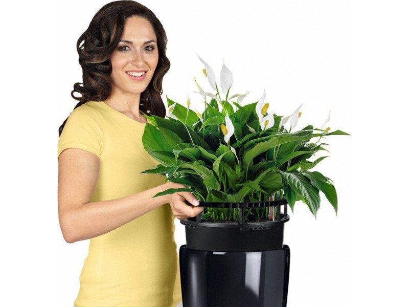 """Спатифиллум цветок """"женское счастье"""" приметы"""