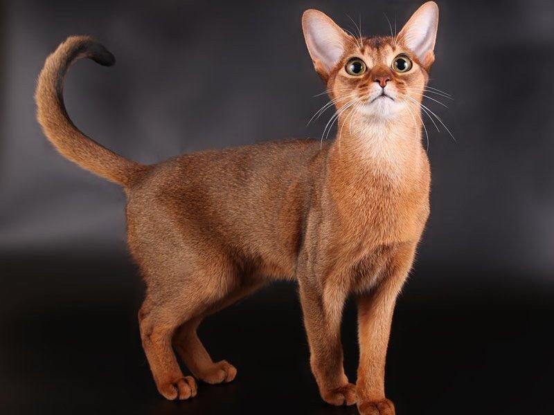 Рейтинг ласковых кошек ТОП 10 Абиссинские кошки