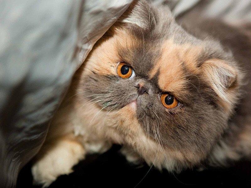 Для детей ТОП 3 кошек для дома Персидские кошки