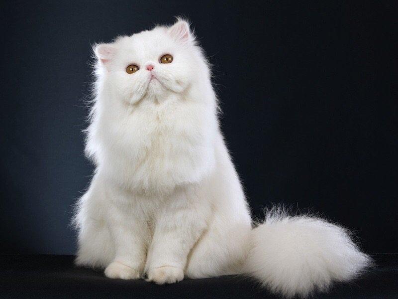 Рейтинг ласковых кошек ТОП 10 персидские кошки