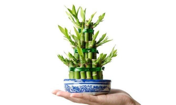 Какие комнатные цветы приносят в дом благополучие: бамбук
