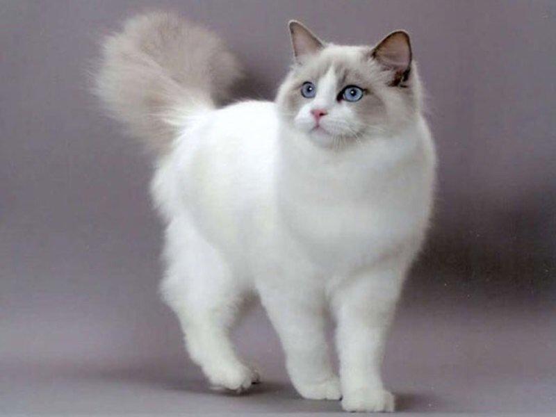Рейтинг ласковых кошек ТОП 10 кошки регдолл