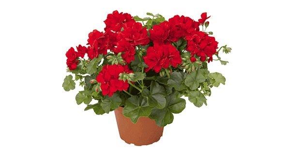 Какие комнатные цветы приносят в дом счастье: герань