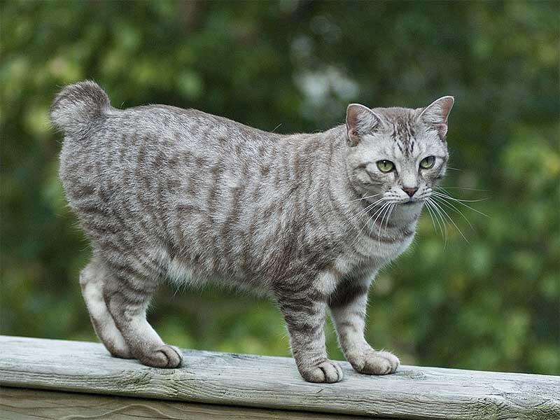 Рейтинг ласковых кошек ТОП 10 кошки мэнкс