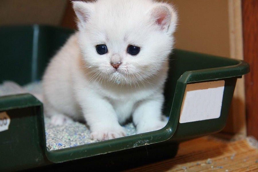 Как приучить месячного котенка ходить в лоток