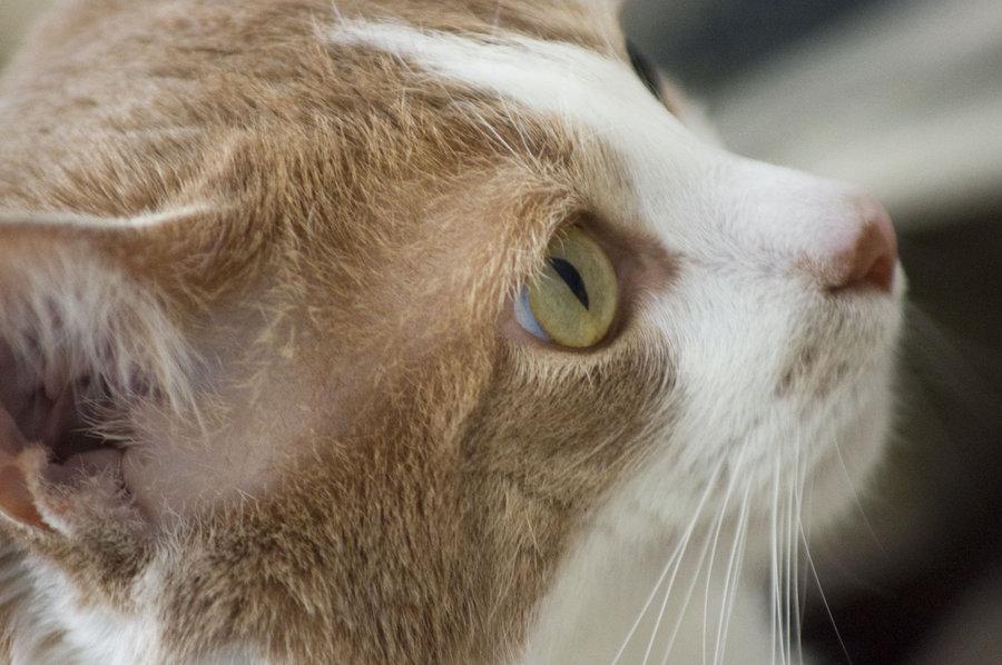 начинающий лишай у кошек