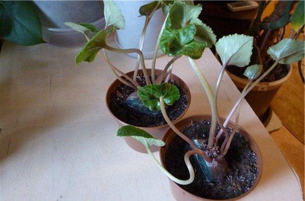 Цикламен размножение листьями, семенами, клубнями