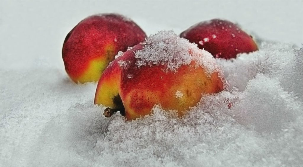 Вино из замороженных яблок в домашних условиях